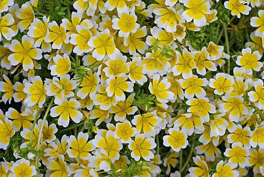 Limnanthes douglasii Photo: Annie's Annuals And Perennials
