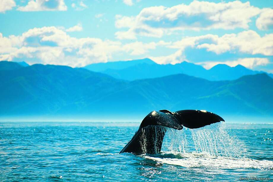 The waters off the coastal town of Kaikoura are a haven for several species of whale. Photo: Chris McLennan, Tourism New Zealand