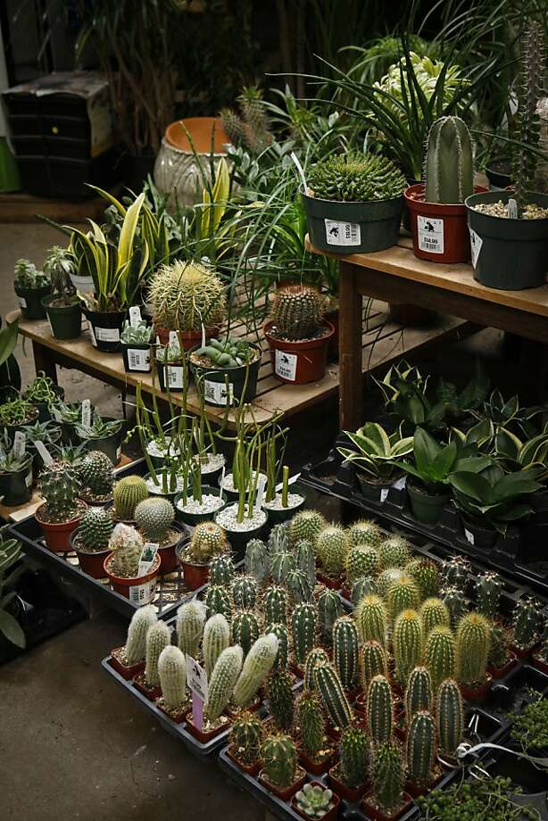 Sloat Garden Center in San Francisco's Richmond district, seen on Monday, March 7, 2011, has a varied selection of succulents. Photo: Russell Yip, The Chronicle