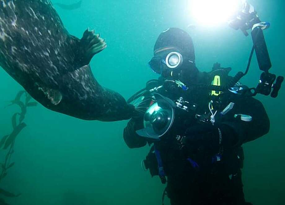 A harbor seal swims up to Kevin Tsai's camera in Monterey Bay in Monterey, Calif., in this undated photo. Photo: Tom Yang, PADI Master Instructor / Diver D