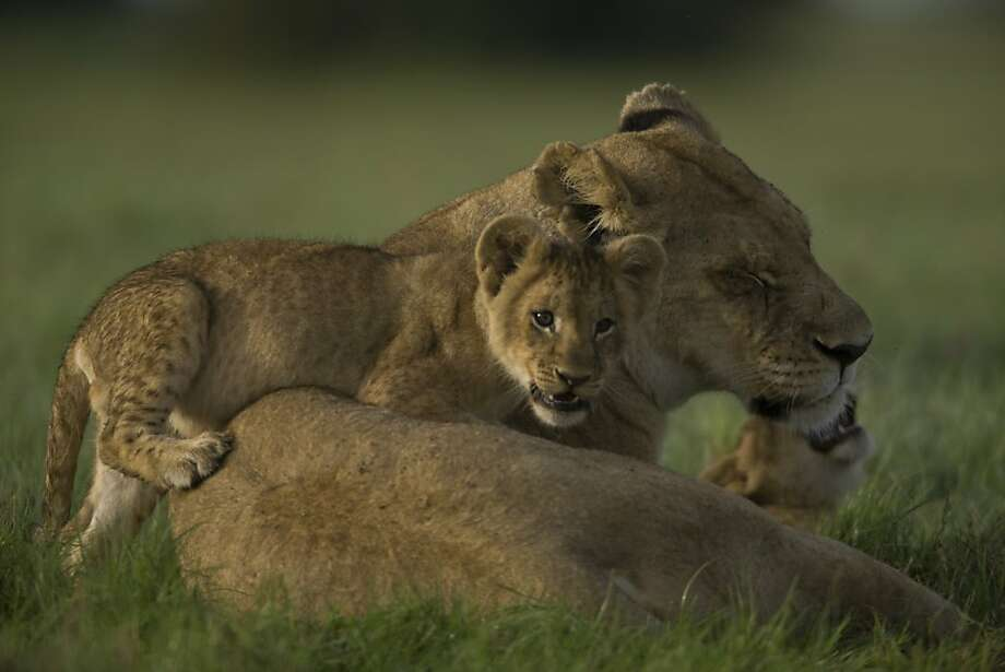 """The lioness and her cub in Dereck and Beverly Joubert's """"The Last Lions."""" Photo: National Geographic Entertainmen"""