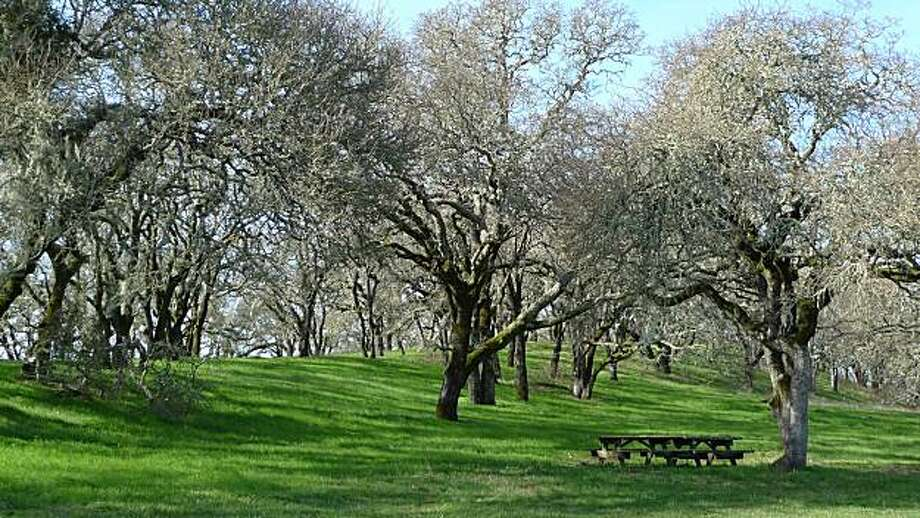 Oak trees at Sonoma Valley Regional Park. Photo: Jill K. Robinson, Special To The Chronicle