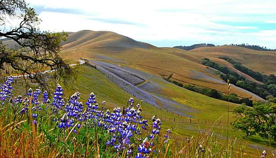 Sky Lupine in the hills above the Carmel Valley, both up close and carpeting the hillside in the background. They typically bloom in April and May. Photo by Rod M. Yeager, MD / Special to The Chronicle Photo: Rod M. Yeager, MD, Special To The Chronicle