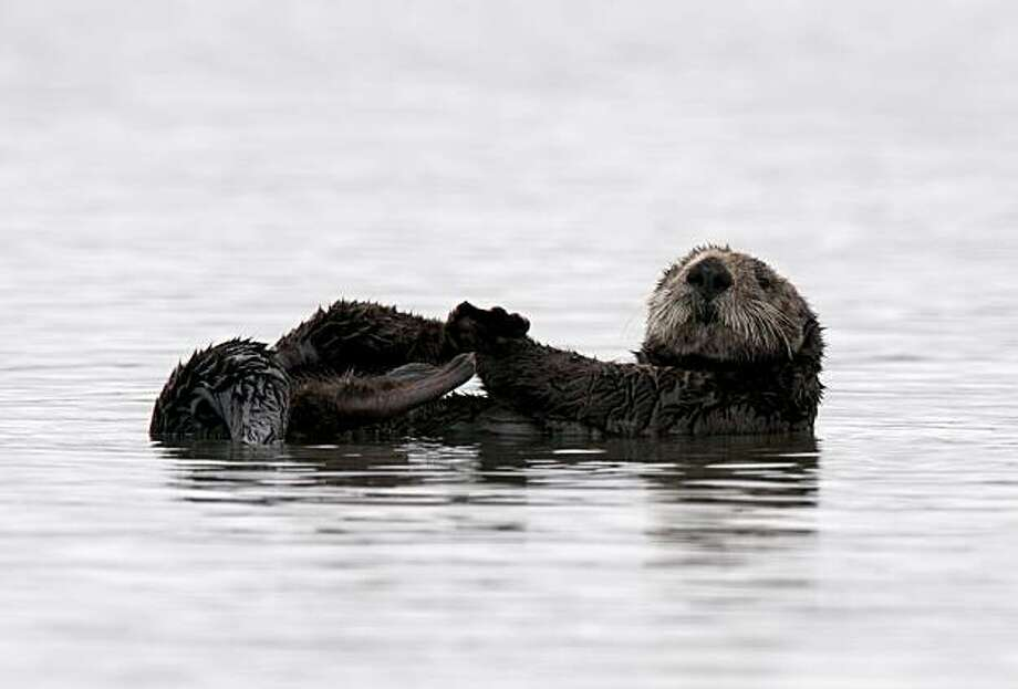 A group of 40-50 male sea otters play and relax in the Moss Landing harbor near Monterey, Calif., on Wednesday, August 11, 2010. Photo: Chad Ziemendorf, The Chronicle