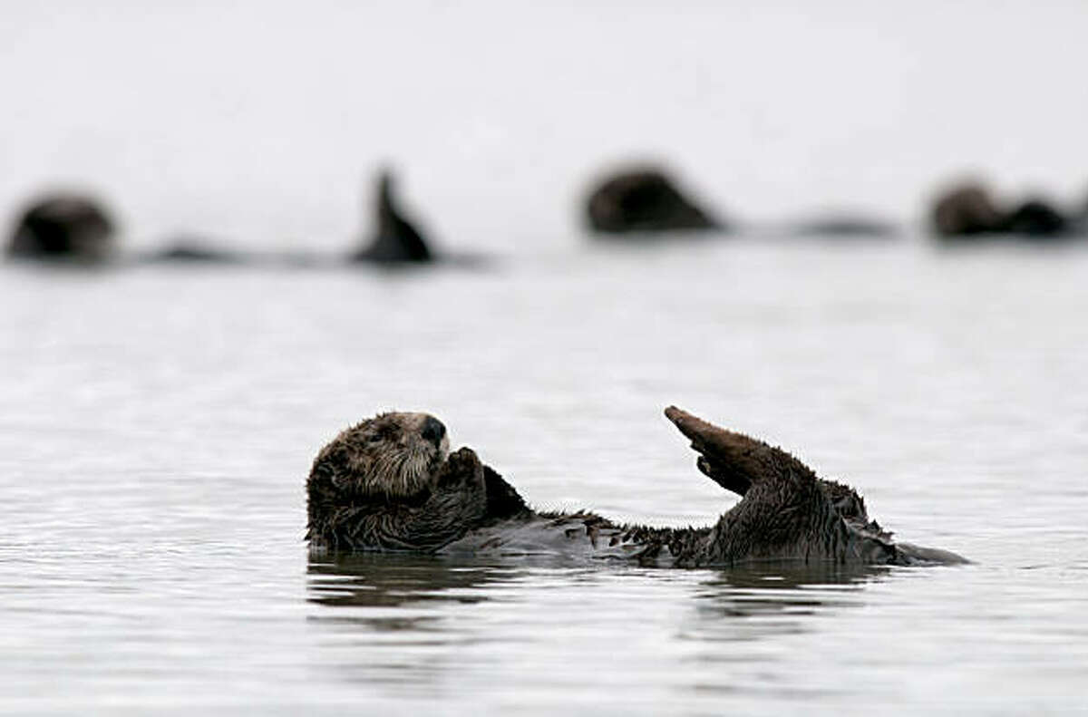 A group of 40-50 male sea otters play and relax in the Moss Landing harbor near Monterey, Calif., on Wednesday, August 11, 2010.