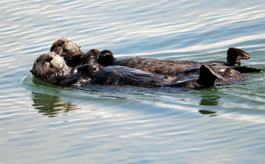 Sea otters play and relax in the Moss Landing harbor near Monterey. Photo: Chad Ziemendorf, The Chronicle