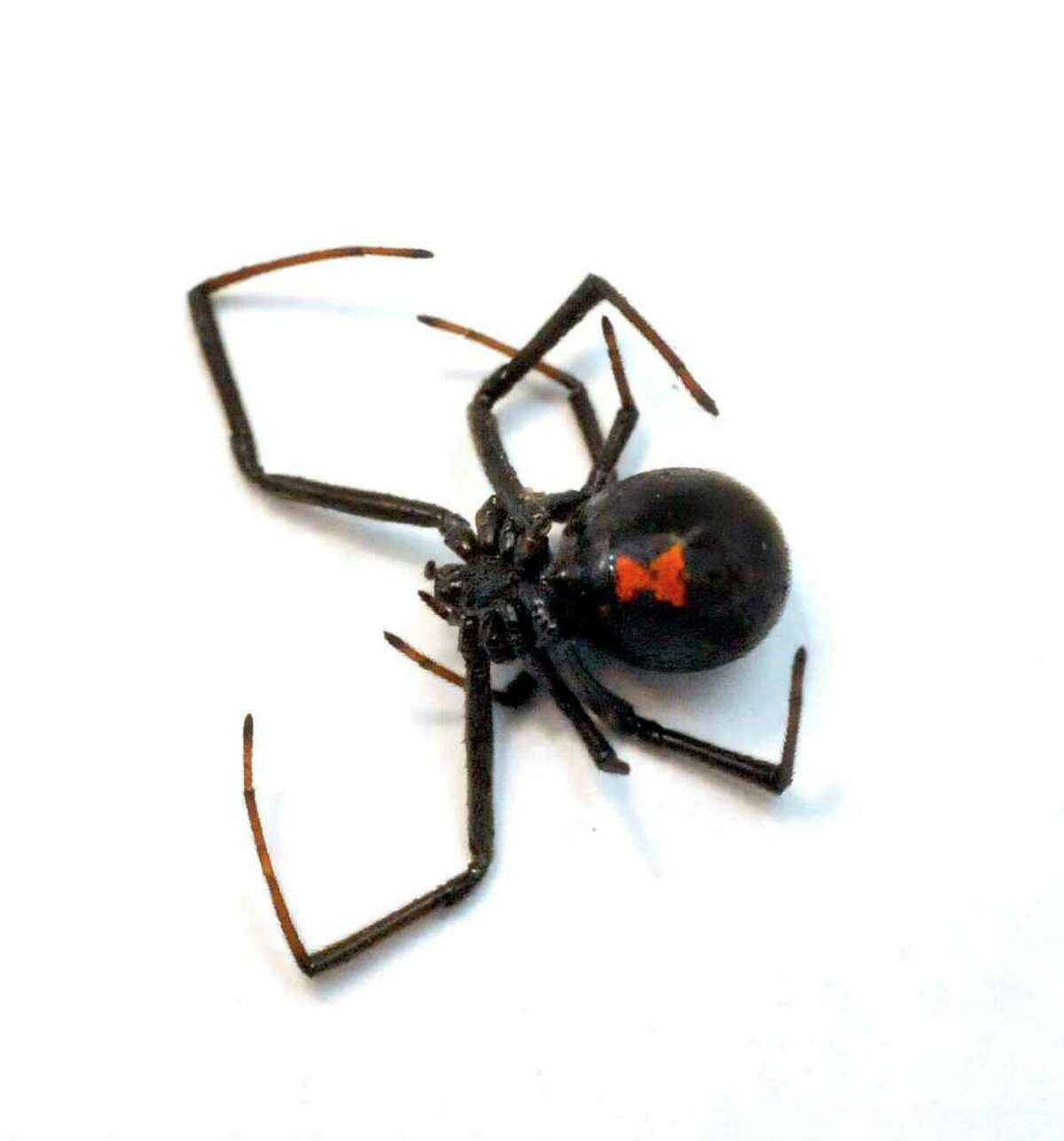 This spider was found in a bag of grapes Thursday morning, Dec. 8, 2011, at the Danbury home of Dina and Stephen Canarozzi.