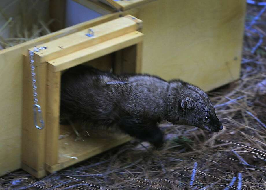 One of the 4 fishers released into the woods emerges from its carrier in Stirling City, Calif. on Thursday, Dec. 8, 2011 in a relocation program coordinated to repopulate the species in a different habitat. A total of 39 of the wolverine-like animals have been reintroduced over a three-year period. Ran on: 12-09-2011 A Pacific fisher exits its carrier as part of an effort to restore the species in the Sierra. Ran on: 12-09-2011 A Pacific fisher exits its carrier as part of an effort to restore the species in the Sierra. Photo: Paul Chinn, The Chronicle