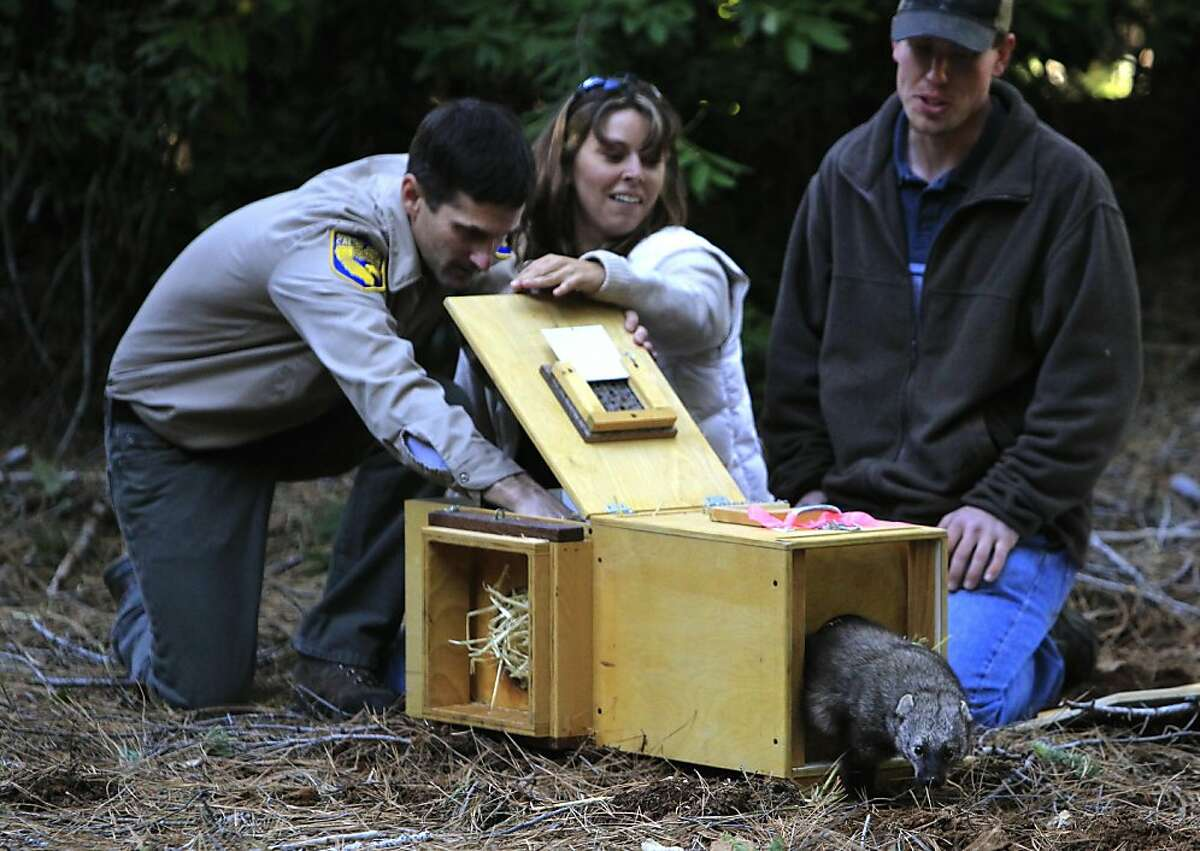 A male fisher is coaxed out of an enclosure by wildlife biologists Pete Figura (left), Amanda Shufelberger (center) and Matt Reno when four of the wolverine-like creatures were released into the woods in Stirling City, Calif. on Thursday, Dec. 8, 2011 in a relocation program coordinated to repopulate the species in a different habitat. A total of 39 fishers have been reintroduced over a three-year period. Ran on: 12-09-2011 Wildlife biologists Pete Figura (left), Amanda Shufelberger and Matt Reno release a male Pacific fisher into the woods. Ran on: 12-09-2011 Wildlife biologists Pete Figura (left), Amanda Shufelberger and Matt Reno release a male Pacific fisher into the woods.