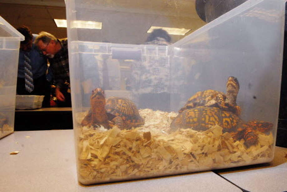 """Eastern box turtles are seen at DEC headquarters on Broadway in Albany, NY on Thursday, March 19, 2009 during a press conference where the DEC announced the results of a extensive undercover investigation into the poaching and smuggling and illegal sale of protected reptiles and amphibians. These turtles were taken from an individual in the investigation. The investigation named """"operation shellshock"""" uncovered a black market for poaching and selling native, protected New York species of turtles, rattlesnakes and salamanders. (Paul Buckowski / Times Union)"""