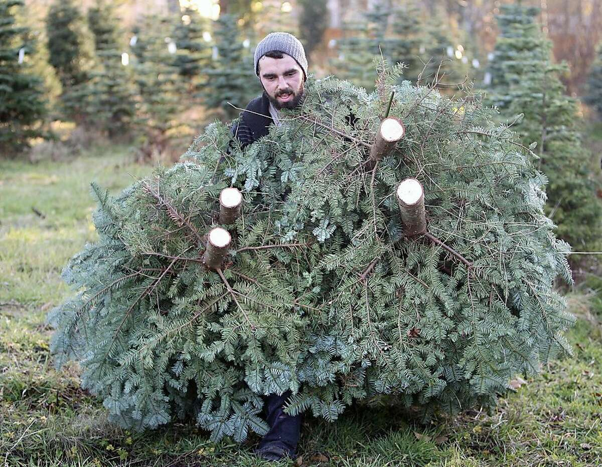 Justin Billick foreman for Santa's Christmas Trees on Highway 303 and Winters Rd. in East Bremerton gets engulfed by the limbs of some trees he just cut on Friday. The grand and noble fir trees are on their way to their tree lots. (AP Photo/Kitsap Sun, Larry Steagall)