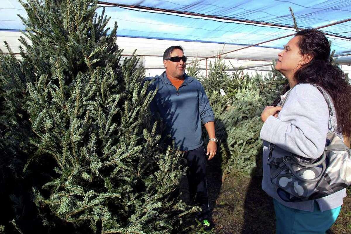BUSINESS Gabriel and Valerie Borrego select a Christmas tree at Arbolitos Nursery on December 7, 2011 Tom Reel/Staff