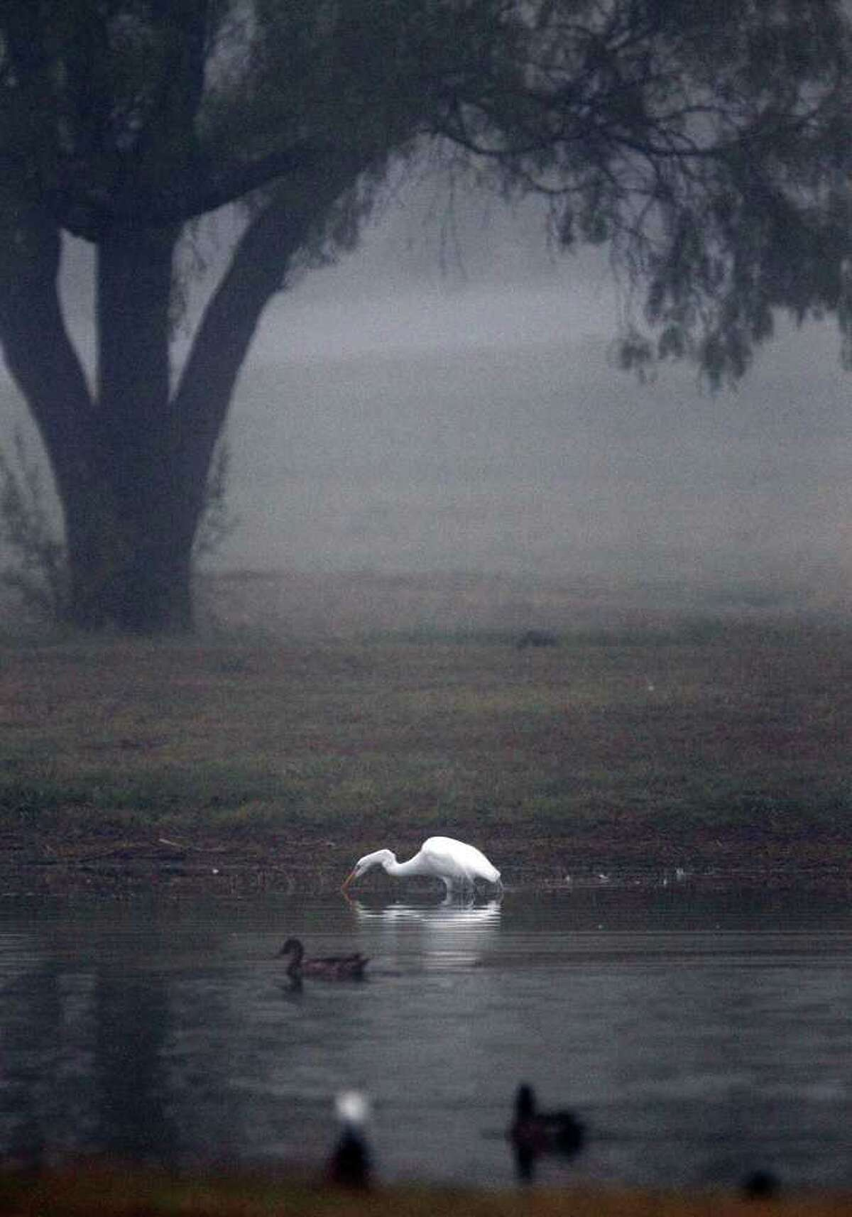 A great egret drinks from a pond at the Olmos Basin Golf Course. The morning fog Tuesday set the stage for a cloudy day that saw occasional drizzle. things aren't expected to cjange much today.