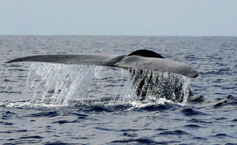 In this picture taken on March 26, 2009, shows a blue whale swimming in the deep waters off the southern Sri Lankan town of Mirissa. Pods of Blue, Sperm and Humpback whales can be easily seen around Sri Lanka for six to eight months a year, while Bryde's whales are somewhat rarer. Out of 81 species of whales, 27 can be seen in the waters around the island. Sri Lanka has begun whale watching tours to lure foreign visitors to see its natural wonders, as traditional beach tourism trickles due to the ongoing four decades of ethnic war with Tamil Tigers. AFP PHOTO/Ishara S. KODIKARA Photo: ISHARA S. KODIKARA, AFP/Getty Images / 2010 AFP