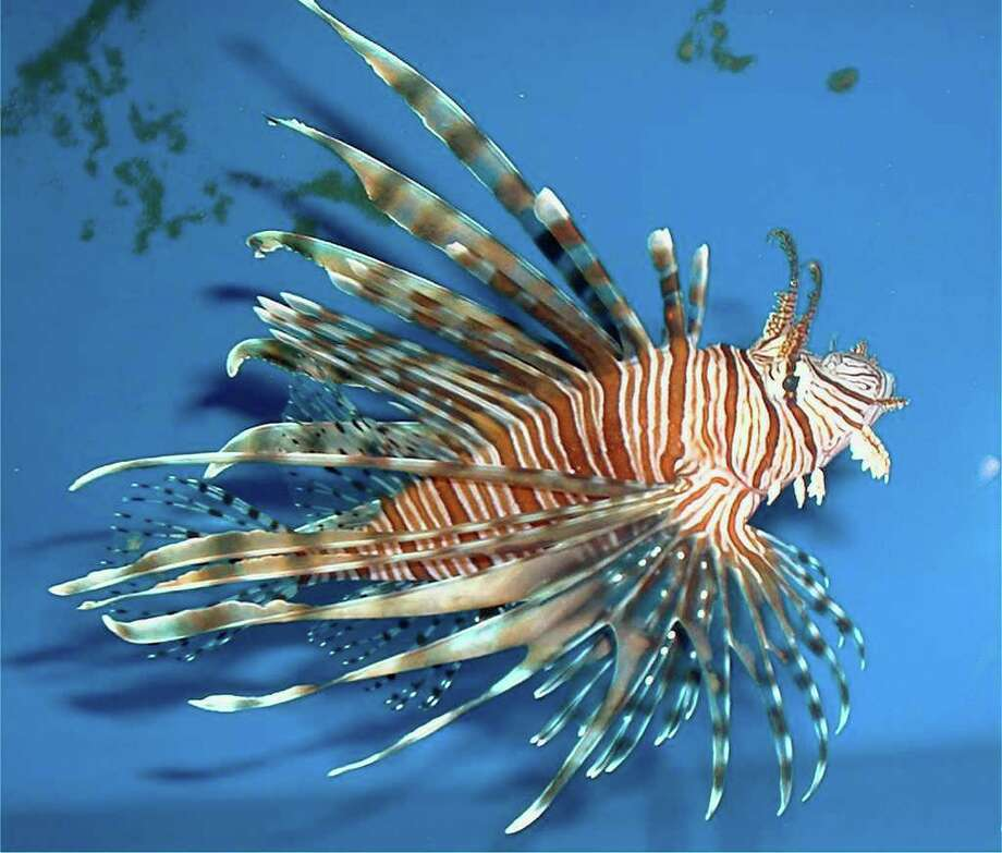 A population growth of lionfish, pictured, and tiger shrimp could pose a threat to the Gulf of Mexico's $700 million shrimping and fishing industry. As an invasive species, the two creatures could damage the Gulf's ecosystems.  Photo provided by National Oceanic and Atmospheric Administration