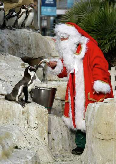 A man dressed in Santa Claus feeds humboldt penguins at the animal exhibition park Marineland in Ant