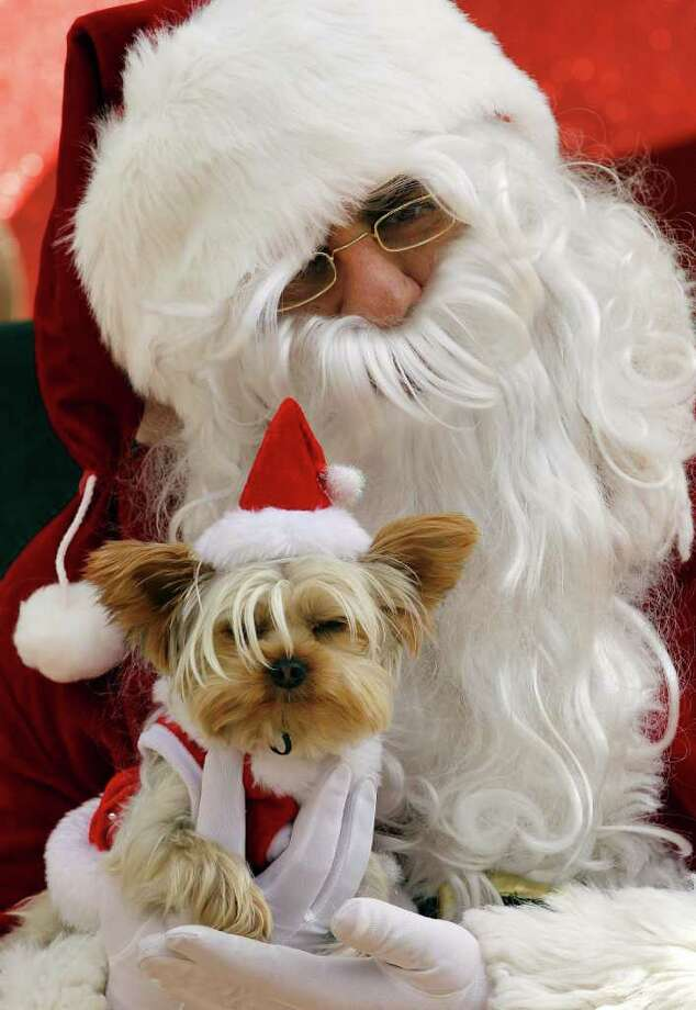 Santa poses with a Yorkshire terrier Sunday, Dec. 11, 2011, in San Jose, Calif. Santa came to be photographed with pets to raise funds for the Silicon Valley Humane Society. Photo: Ben Margot, Associated Press / AP