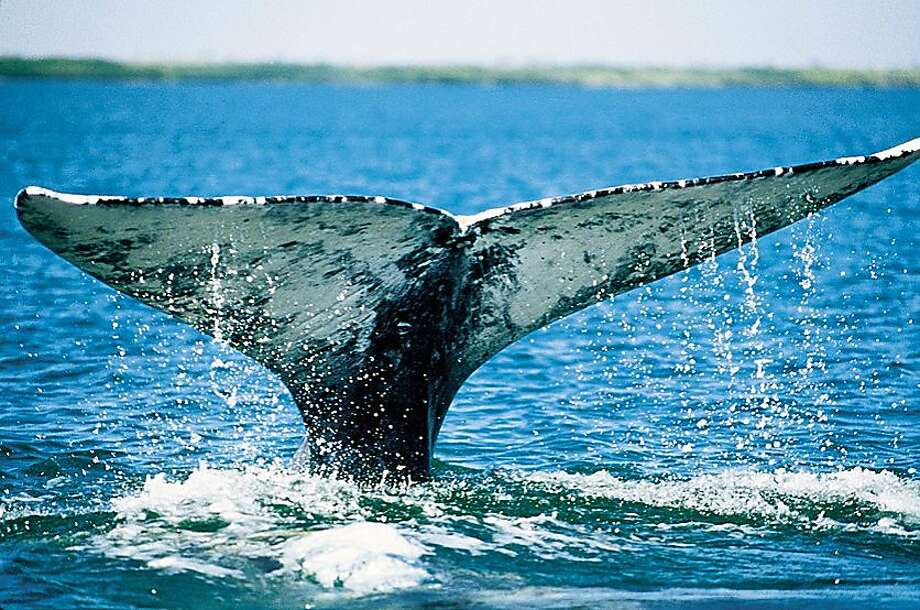 Gray whales migrating along the coast between the Bering Sea and Baja California find Monterey Bay makes an attractive pit stop. PHOTO CREDIT: Paul Ratcliffe/OceanFriendsImages.com Photo: Paul Ratcliffe, OceanFriendsImages.com