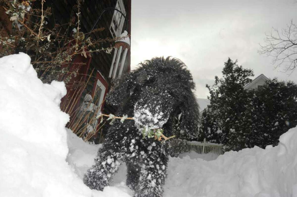 Gandhi, a 3-month-old standard poodle playing in the snow in Norwalk, on Wednesday, Jan. 12, 2011.