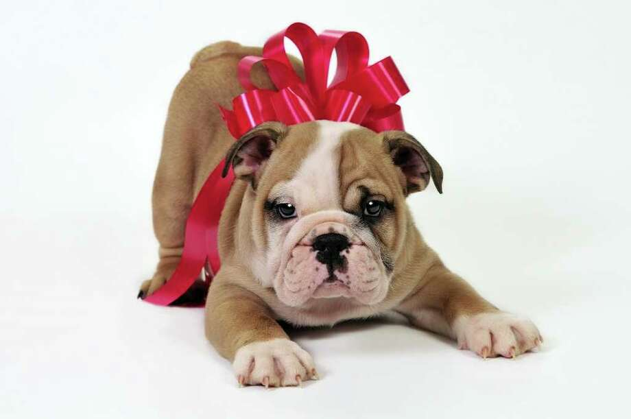 Fotolia TOO CUTE TO REFUSE: Think twice before giving an English bulldog puppy as a pet. Photo: Fotolia / 11313195