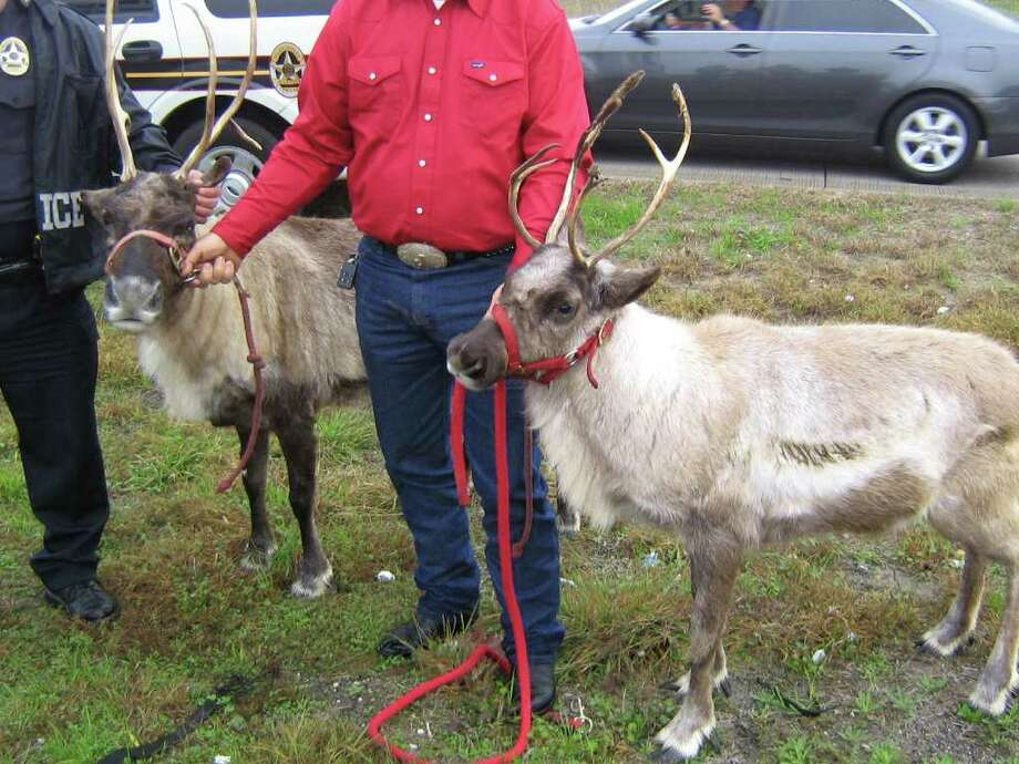 HANDouT PHOTO reindeer GAMES: Webster police helped catch a pair of reindeer that escaped Wednesday when a petting zoo trailer came unhitched. The red-clad man in center is unidentified.