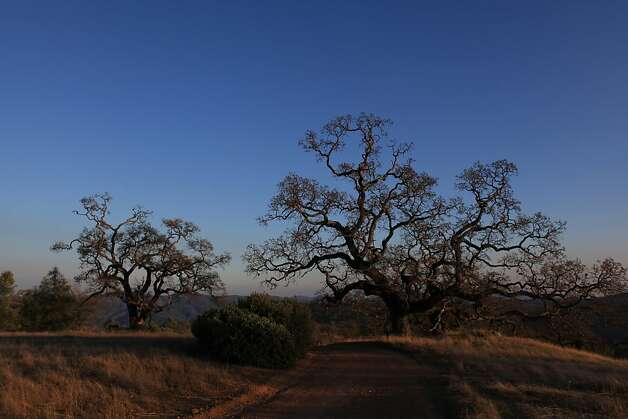 Valley Oak trees are seen along a trail at Henry W. Coe State Park on Tuesday, December 13, 2011 in Morgan Hill, Calif. Photo: Lea Suzuki, The Chronicle