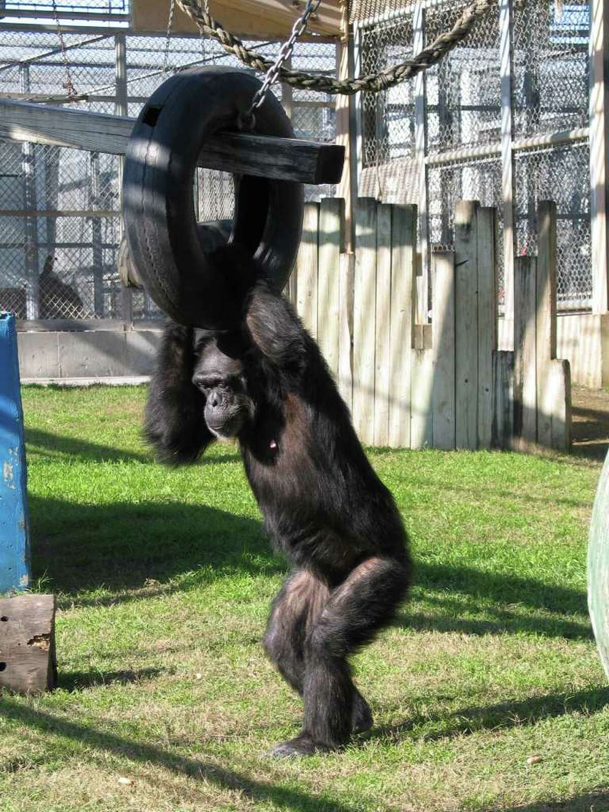 Chimpanzees at Texas Biomedical Research Institute, one of a very few research facilities in the United States that perform research on the highly intelligent animals.
