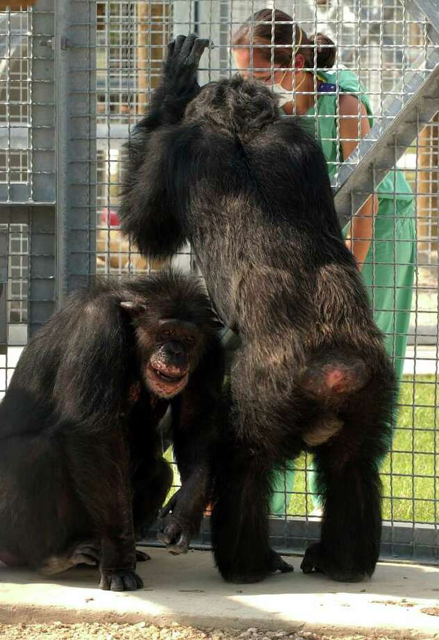 The Texas Biomedical Research Institute is one of just four large, active chimpanzee research programs in the nation. Photo: BOB OWEN, SAN ANTONIO EXPRESS-NEWS / SAN ANTONIO EXPRESS-NEWS