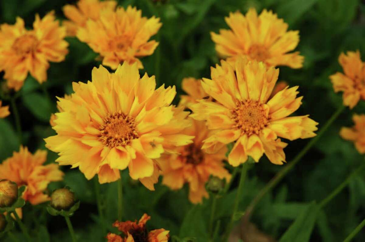'Jethro Tull' is reliable coreopsis.