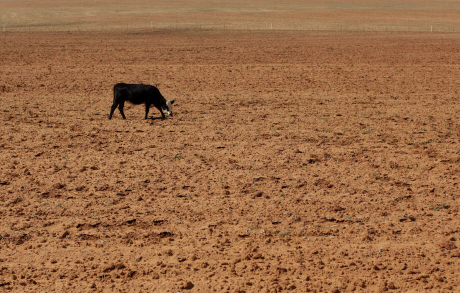 In this Aug. 12, 2011, file photo a cow grazes in a dry field near Westbrook, Texas. Texas' historic drought brought the biggest one-year decline in cows with an estimated 600,000 fewer bovines in the state now than on Jan. 1. Beef economist David Anderson said the declining cow numbers will lead to tighter supplies from fewer calves and as much as a 5.5 percent increase in beef prices next year. Photo: Jae C. Hong, AP Photo / AP2011