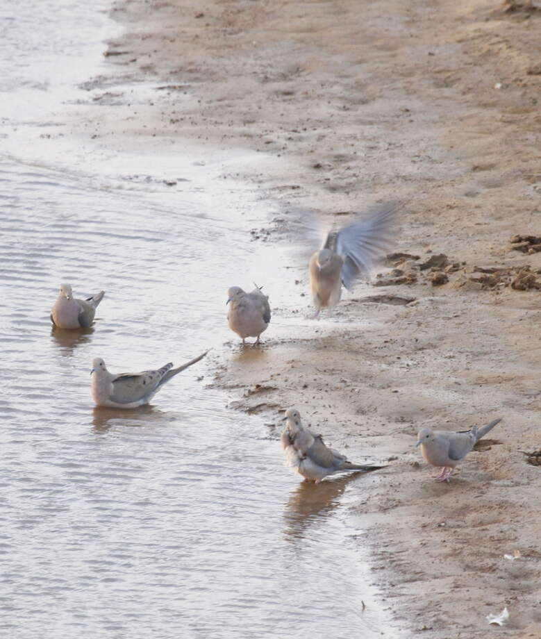 WINTER WATER WINGSHOOTING: With Texas still gripped in drought and birds forced to flock to limited available water, stock tanks will be good options for shotgunners during the winter dove season, which opens Dec. 23. Photo: Shannon Tompkins