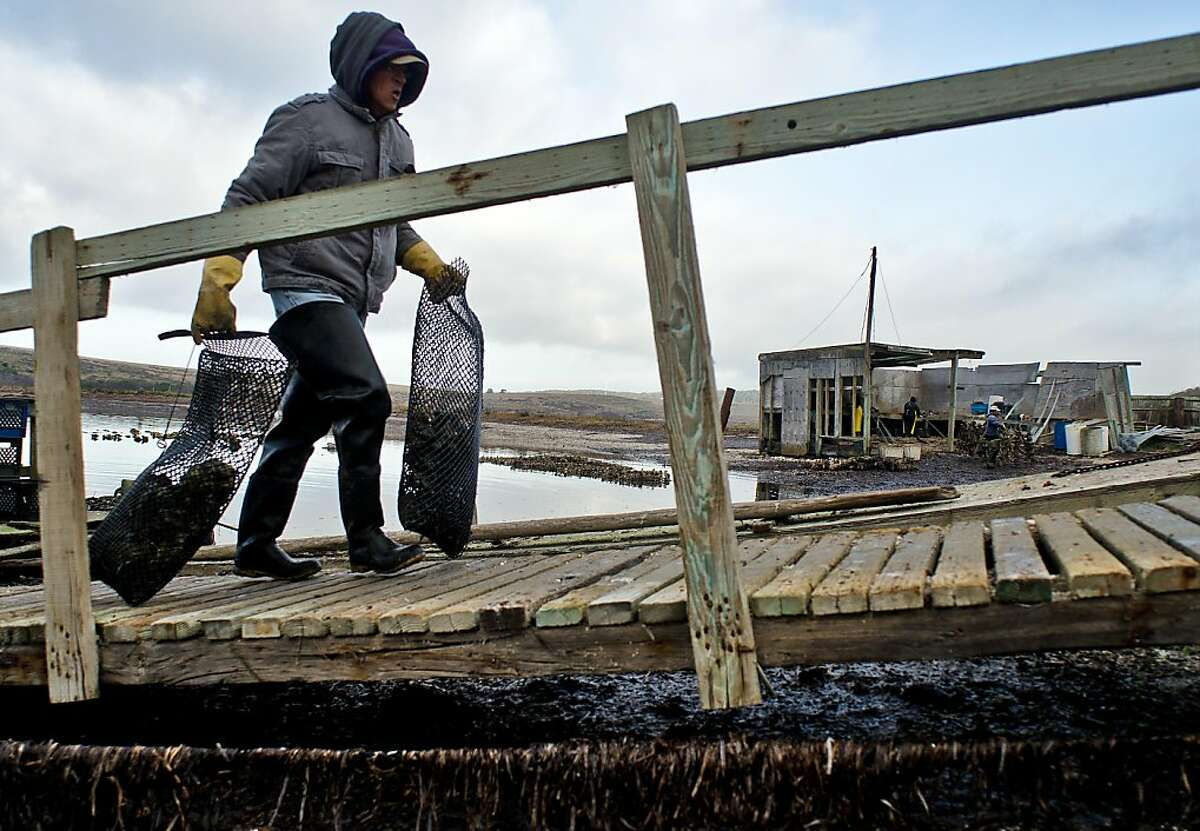Farm worker Ruben Robledo carries bags of harvested oysters from the dock to be processed for shipment at the Drakes Bay Oyster Farm in Inverness, California on December 13, 2011.