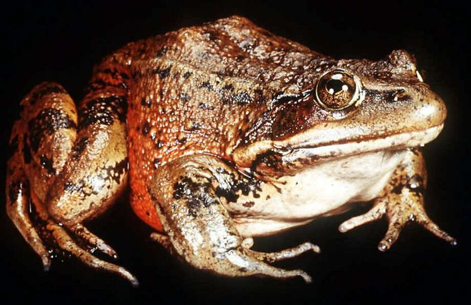 "FILE--Celebrated for its jumping and protected for its rarity, the California red-legged frog, seen here in an undated file photo, wins critical habitat designation on 4 million acres of the state. In mapping chunks of the state where developers will face federal restrictions, the U.S. Fish & Wildlife Service scaled back its initial plan by 1.3 million acres, eliminating the county where Mark Twain set his classic ""The Celebrated Jumping Frog of Calaveras County."" (AP Photo/University of California, Santa Barbara, File). ALSO RAN 4/3/02, 06/29/02  Ran on: 01-25-2006 The California red-legged frog, made famous in the Mark Twain story, has declined to just 10 percent of its original population.  Ran on: 01-25-2006   Ran on: 01-25-2006 The California red-legged frog, made famous in the Mark Twain story, has declined to just 10 percent of its original population.  Ran on: 01-25-2006 The California red-legged frog, made famous in the Mark Twain story, has declined to just 10 percent of its original population. ALSO Ran on: 07-21-2007 Preble's meadow jumping mouse Ran on: 07-21-2007 Preble's meadow jumping mouse Ran on: 11-28-2007 The Preble's meadow jumping mouse had lost its endangered species protection. Ran on: 12-20-2007 Vladimir Putin Ran on: 12-20-2007 Vladimir Putin Ran on: 03-19-2008 The 14th fairway, underwater last month at Sharp Park Golf Course, is a breeding ground for red-legged frogs (left). Ran on: 03-19-2008  Ran on: 05-06-2009 The red-legged frog at Sharp Park in Pacifica is in peril. Photo: AP"