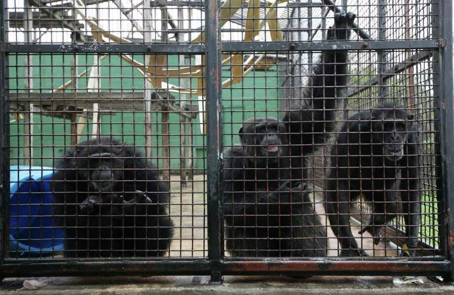 Chimpanzees gather by the mesh wall of their enclosure at Primarily Primates on Thursday, Dec. 15, 2011.  The non-profit sanctuary takes in animals from research centers,  those used in entertainment and family pets. Photo: JERRY LARA, San Antonio Express-News / SAN ANTONIO EXPRESS-NEWS