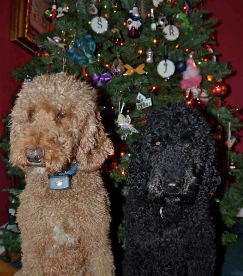 Gooch and Trey may look cute, but experts say think twice before giving a pet as a Christmas gift. Photo by Jeanna Petersen Shepard Photo: Contributed Photo