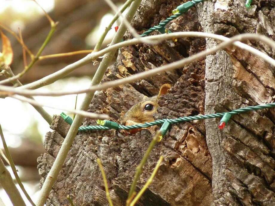 A squirrel hides in the trunk of a tree decorated with Christmas lights on the River Walk. Officials say the rodents are chewing on the wiring. Photo: JOHN TEDESCO, SAN ANTONIO EXPRESS-NEWS