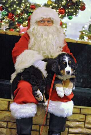Buda, a Bernese Mountain Dog, gets his photo taken with Santa at Colonie Center Tuesday, Dec. 13, 2011 in Colonie, N.Y.  (Lori Van Buren / Times Union) Photo: Lori Van Buren