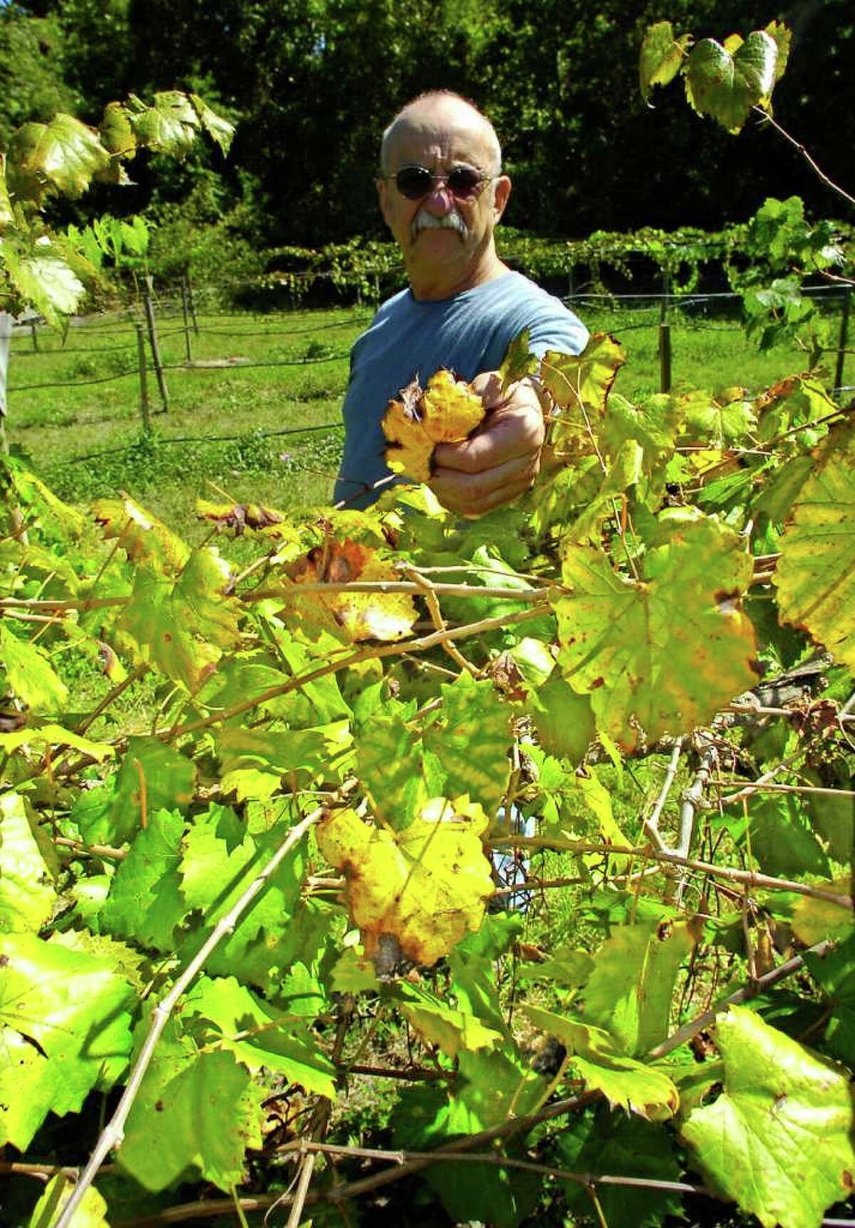 Jim Mathews, Piney Woods Winery Vineyard Manager, looks over a plot of Muscadine grape vines, that are showing signs of lack of water due to the drought, in the yellowing and browning of the leaves. The plants are watered twice a day, but with the ground so dry, the total amount of the water does not always make it to the roots of the plants. Piney Woods Winery grows Muscadine grapes that require a lot of irrigation through the summer months. Small businesses are having a tough time weathering through the drought, some have said they've seen sales dip by half since a year ago. Dave Ryan/The Enterprise