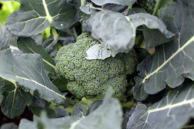 Broccoli grows in the winter garden of Sue and Jim Ewers, Friday, December 16, 2011. Photo: JENNIFER WHITNEY, Jennifer Whitney/ Special To The Express-News / special to the Express-News