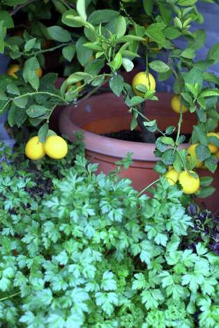 Meyer lemons and cilantro grow on the front porch of  Sue and Jim Ewers, Friday, December 16, 2011. Photo: JENNIFER WHITNEY, Jennifer Whitney/ Special To The Express-News / special to the Express-News