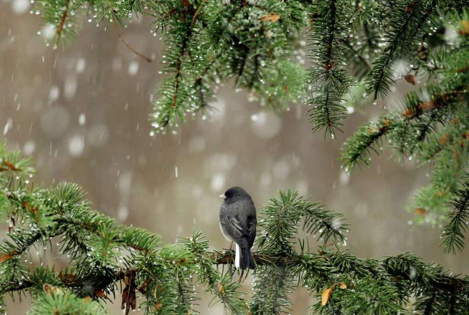 People would do well to emulate nature and, like this evergreen  sheltering a Junco, help the less fortunate Photo: Associated Press, File Photo