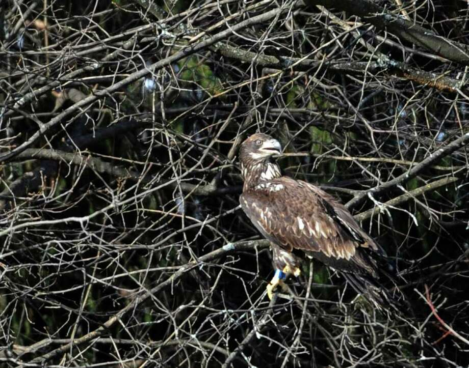 Dr Edward Becker released an immature bald eagle from his veterinary clinic in Slingerlands, N.Y. Dec. 22, 2011,  that he has rehabilitated from gunshot wounds.     (Skip Dickstein / Times Union) Photo: SKIP DICKSTEIN / 2011