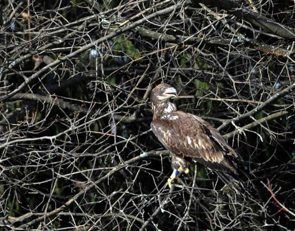 Dr Edward Becker released an immature bald eagle from his veterinary clinic in Slingerlands, N.Y. Dec. 22, 2011, that he has rehabilitated from gunshot wounds. (Skip Dickstein / Times Union)