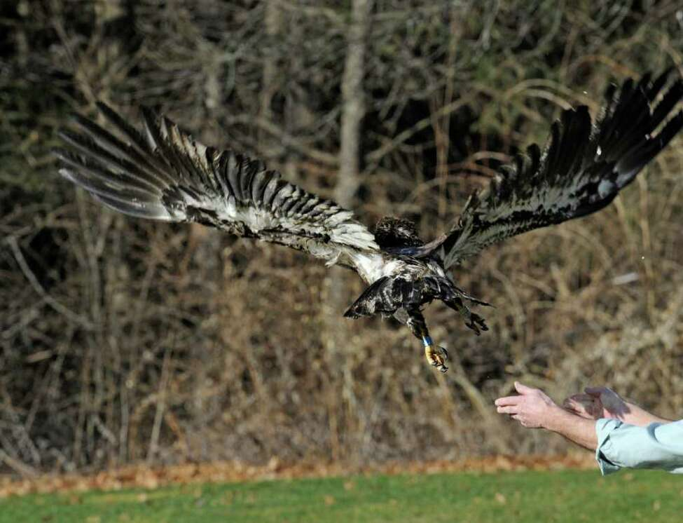 Dr Edward Becker releases an immature bald eagle from his veterinary clinic in Slingerlands, N.Y. Dec. 22, 2011, that he has rehabilitated from gunshot wounds. (Skip Dickstein / Times Union)
