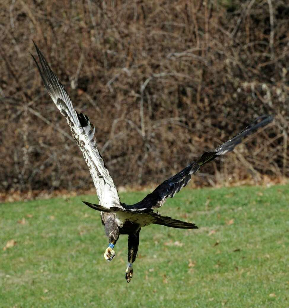 Dr Edward Becker released an immature bald eagle from his veterinary clinic in Bethlehem, N.Y. Dec. 22, 2011, that he has rehabilitated from gunshot wounds. (Skip Dickstein / Times Union)