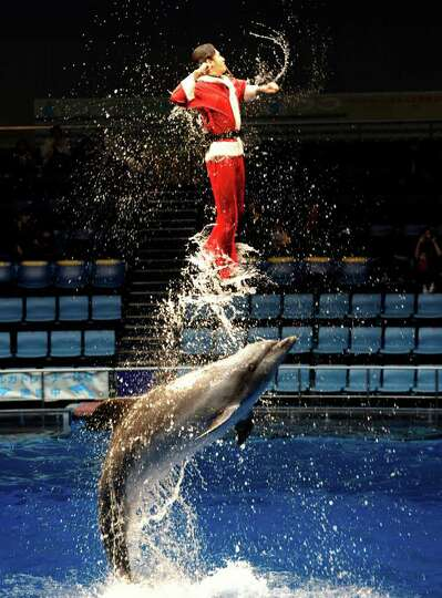 An aquarium trainer wearing a Santa Claus costumeperforms with bottle-nose dolphins during a show at