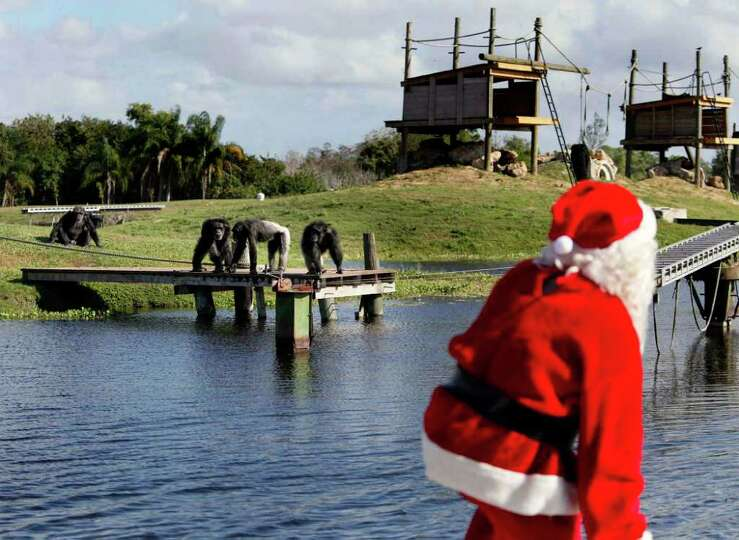 Excited chimpanzees race to meet Santa during Christmas with the Chimps at Lion Country Safari in Lo