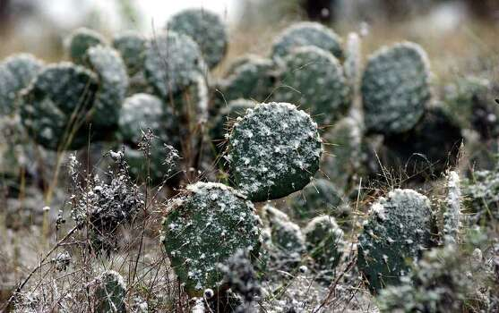 Cactus holds snow blown onto it near Fredericksburg in 2001. The Hill Country could get light snowfall Christmas Eve morning thanks to a cold front moving through the area tonight and into Saturday morning. Photo: TOM REEL , SAN ANTONIO EXPRESS-NEWS  / SAN ANTONIO EXPRESS-NEWS