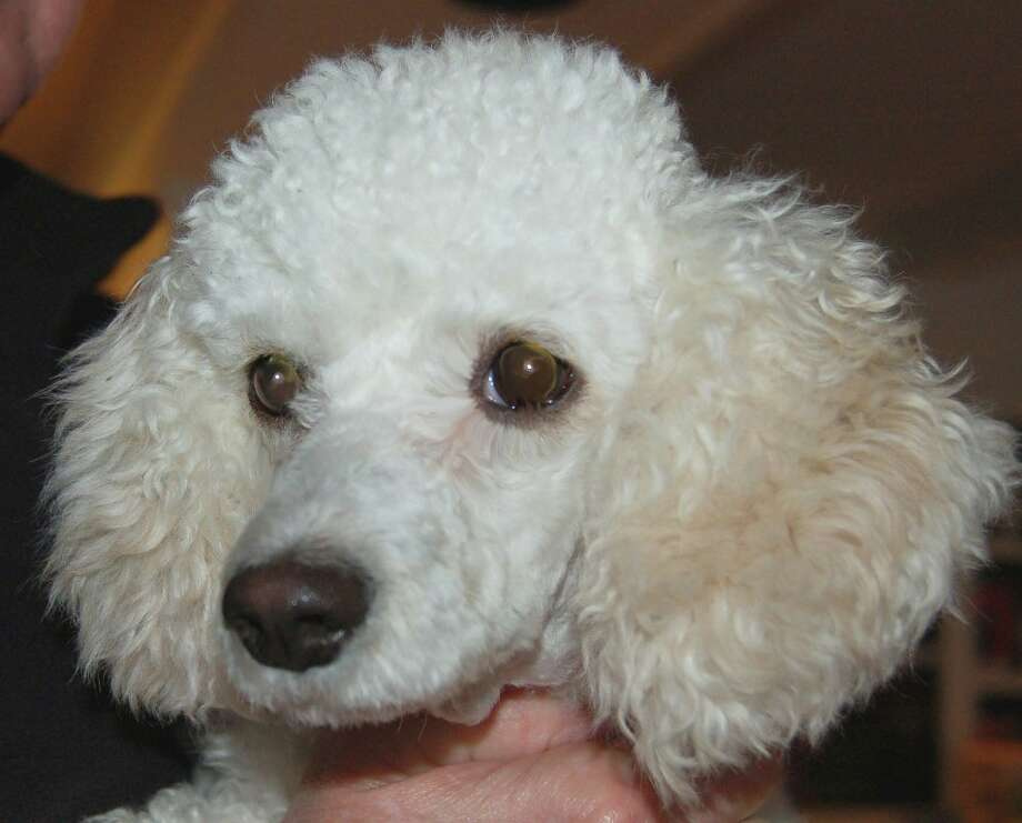 Dec 25, 2011 is our Christmas baby Lulu.  She s a 3 year old 10 pound Poodle/Dachshund mix.  She has the low, long frame, short legs and personality of a Dachshund...in a Poodle coat. And in this Season of Miracles, Lulu is certainly one.  The following is her story.  Lulu has been through a lot in her short life...she was adopted last spring and came back over Labor Day weekend via doggie ambulance after being hit by a car. The adopters, once located, could not afford her medical expenses so they surrendered her back to CAP. She had a broken femur, shattered pelvis and broken tail. She had also lost a quarter of her body weight in the four months she had been gone, so she was emaciated.  She went through major orthopedic surgery and now she has plates in her leg and her pelvis, and her tail had to be amputated. Through it all, she has been a real trooper...rarely a whine or complaint...and she has recovered unbelievably quickly! Even her surgeon is amazed at how well she has done.   Lulu is now healed, active and healthy, and ready for a forever home of her own. She has complete nerve function and is able to walk, run and do just about anything any other dog can do.  She should have no ongoing complications or special needs. The only thing she can't yet do is jump up onto things which should not be a problem for most folks. Lulu is still going through some physical therapy to help strengthen her leg and nerves...other than that, she is a silly, happy girl who loves to be with people of all kinds. She is fine with other gentle dogs as well, but she is not a fan of cats. She would be happiest with someone who is home a lot.  She likes kids, but given her bionic body, probably not young kids who might mis-handle her and hurt her by accident.   That may be far more information than you would ever want or need, so use whatever you wish! As a side note, she is a testament to the power of a microchip...if not for that little chip, we probably never would have known what h Photo: Citizens For Animal Protection