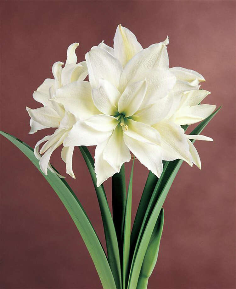 White Peacock is a  stunning double amaryllis with glistening pure white double and elegant form. Amaryllis also come in vibrant red, soft pink and apricot and lime green. Some have exotic markings. / email from Kathy Huber
